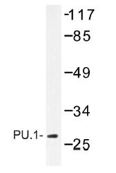 AP01231PU-N - SPI1 / PU.1