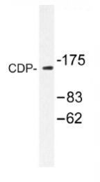 AP01232PU-N - CUTL1 / CDP
