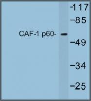 AP01236PU-N - CAF-1 subunit B
