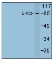 AP01240PU-N - MAPK6 / ERK3
