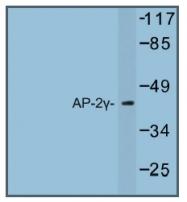 AP01241PU-N - AP2-gamma / TFAP2C