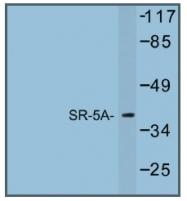 AP01244PU-N - Serotonin receptor 5A (HTR5A)