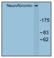 AP01247PU-N - Neurofibromin
