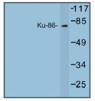 AP01251PU-N - XRCC5 / Ku80 / Ku86