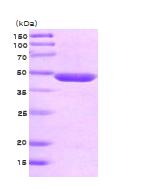 AR09061PU-L - Neuron specific enolase