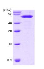 AR09062PU-L - Nucleobindin-2