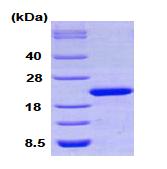 AR09070PU-L - Cyclophilin F