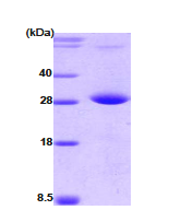AR09071PU-L - Protein phosphatase 1G / PPM1G