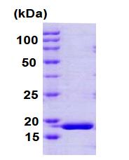 AR09072PU-L - Cyclophilin H / PPIH