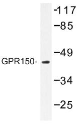 AP01258PU-N - GPR150