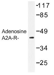 AP01259PU-N - Adenosine receptor A2a