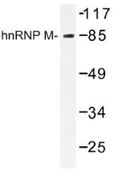 AP01281PU-N - hnRNP-M / HNRNPM