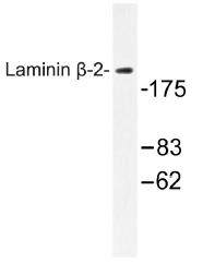 AP01289PU-N - Laminin beta-2