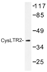 AP01297PU-N - CYSLTR2