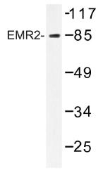 AP01298PU-N - CD312 / EMR2