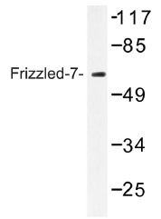 AP01299PU-N - FZD7 /  Frizzled-7