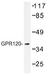 AP01302PU-N - GPR120