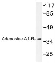 AP01303PU-N - Adenosine receptor A1
