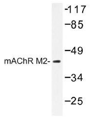 AP01304PU-N - Muscarinic acetylcholine receptor M2