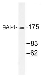 AP01307PU-N - BAI1