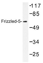 AP01316PU-N - FZD5 / Frizzled-5