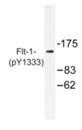 AP01883PU-N - VEGFR-1 / Flt-1