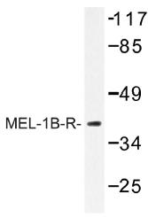AP01322PU-N - Melatonin Receptor 1B