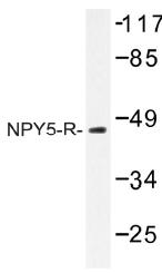 AP01324PU-N - NPY Receptor 5 / NPY5R