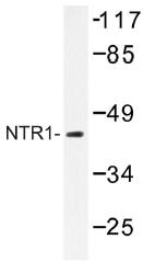 AP01325PU-N - Neurotensin receptor  1
