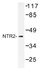 AP01326PU-N - Neurotensin receptor type 2