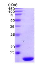 AR09090PU-L - Thioredoxin-2 / TRX2