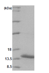 AR09092PU-L - VAMP-1 / Synaptobrevin-1