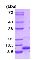 AR09093PU-L - VAMP-3 / Synaptobrevin-3