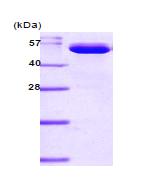AR09097PU-L - Visfatin / NAMPT
