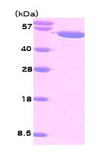 AR09098PU-L - Visfatin / NAMPT