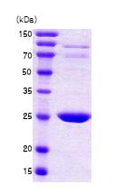 AR09099PU-L - 14-3-3 protein beta/alpha