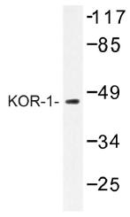 AP01330PU-N - Kappa Opioid Receptor