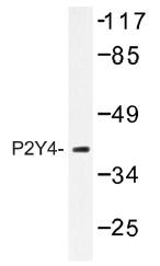AP01333PU-N - P2RY4 / P2Y4