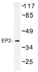 AP01334PU-N - PTGER2