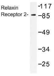 AP01337PU-N - Relaxin receptor 2 / RXFP2