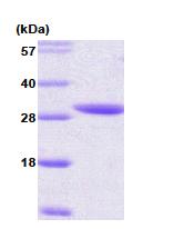 AR09100PU-L - 14-3-3 protein epsilon