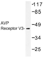 AP01341PU-N - Vasopressin V1b receptor (V1bR)