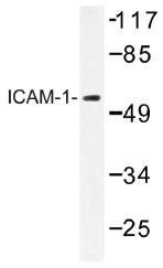 AP01342PU-N - CD54 / ICAM1
