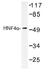 AP01345PU-N - HNF4 alpha / TCF14
