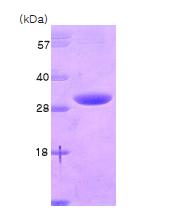 AR09102PU-L - 14-3-3 protein eta