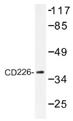 AP01352PU-N - CD226 / DNAM1