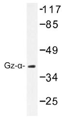 AP01358PU-N - G protein z alpha