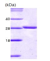 AR09103PU-L - 14-3-3 protein theta