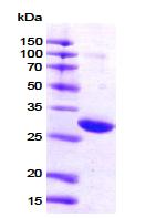 AR09104PU-L - 14-3-3 protein zeta/delta