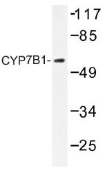 AP01374PU-N - CYP7B1